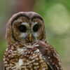 Save Majestic Spotted Owls From Extinction